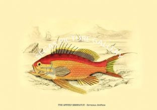 THE SPINED SERRANUS - Serranus Anthias